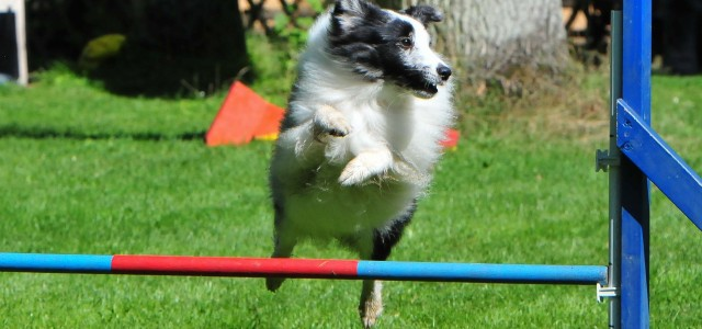Hund springt über Hürden
